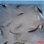 アジ、サバなどの小型魚